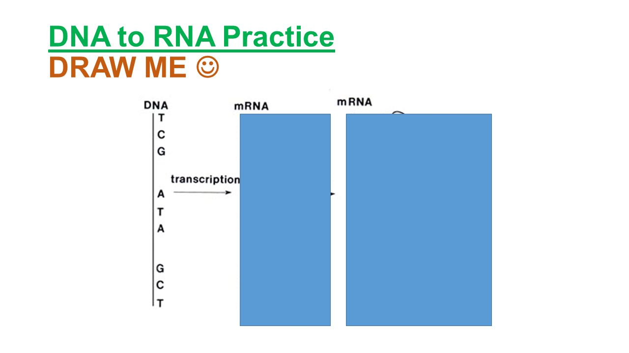 DNA to RNA Practice DRAW ME
