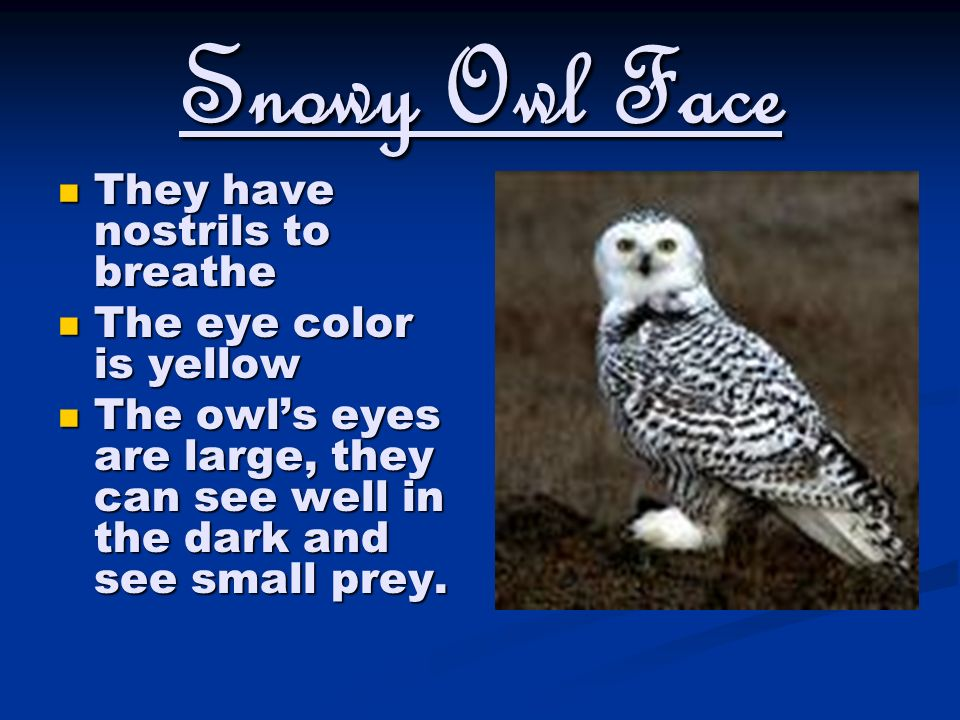 Snowy Owl Face They Have Nostrils To Breathe The Eye Color