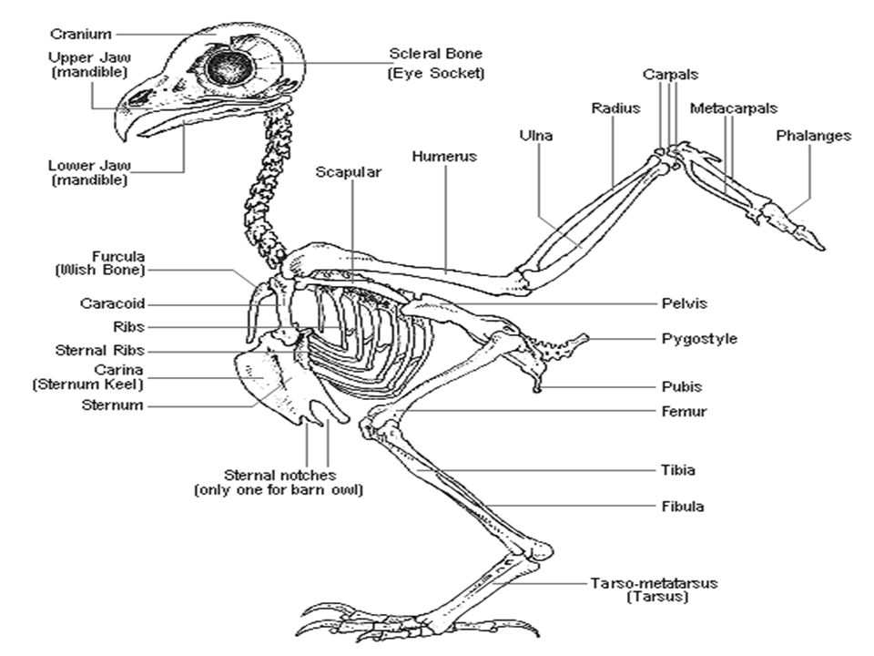 Bird Skeleton Diagram Of A Owl - Circuit Connection Diagram •