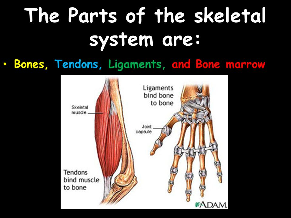 The Skeletal System The Parts Of The Skeletal System Are Bones