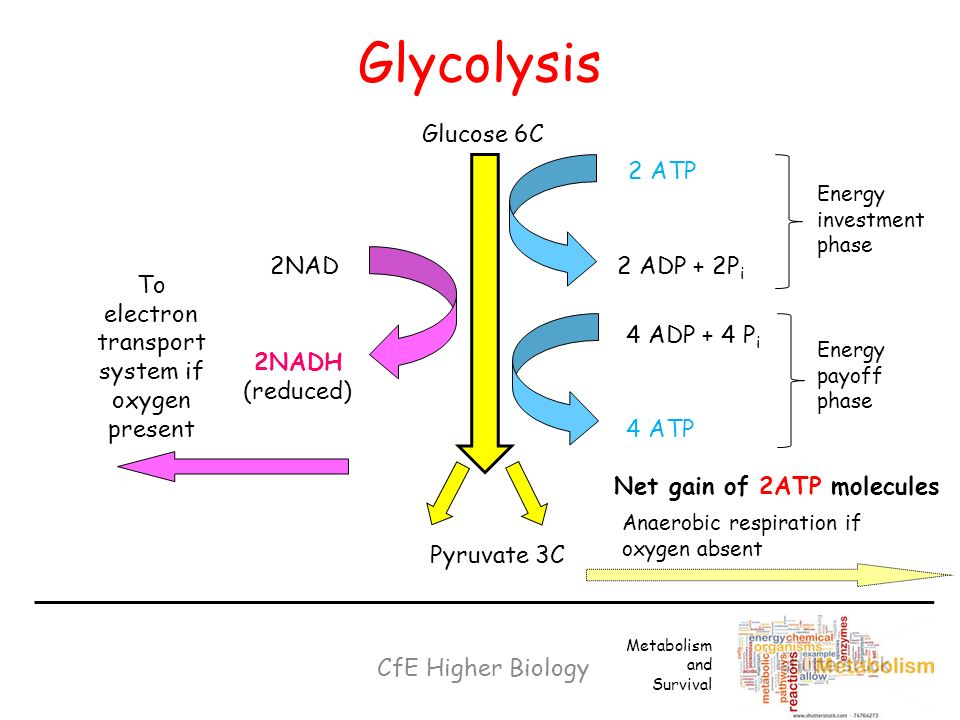 what is the net gain of atp after glycolysis