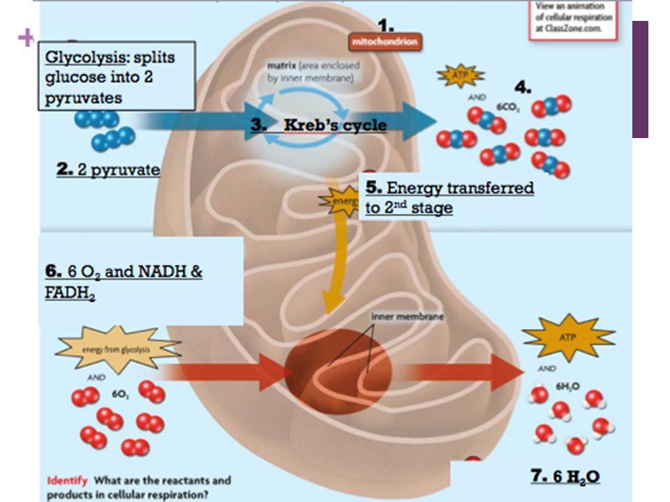 Overview Of Cellular Respiration And Fermentation Worksheet Nidecmege