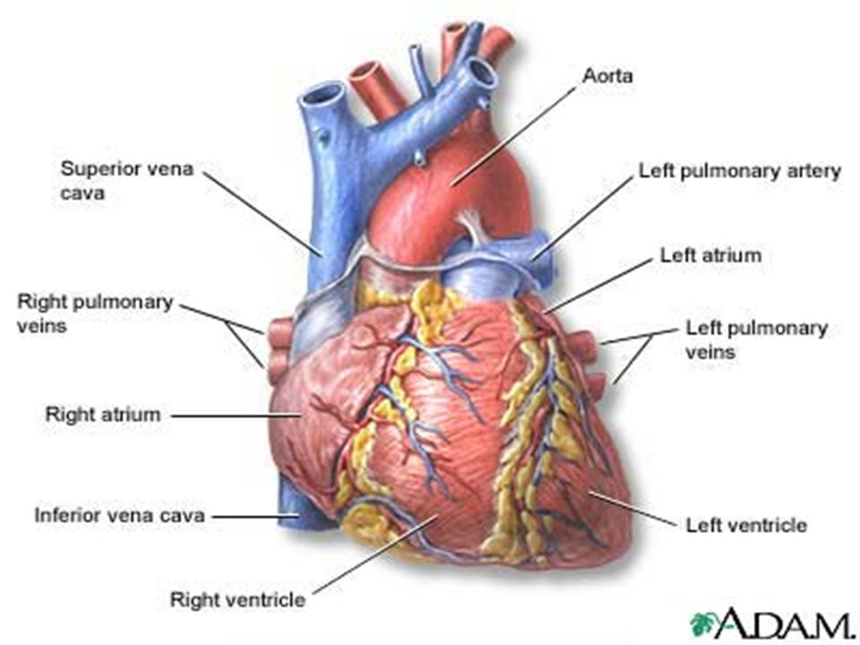 Location And Protection Of The Heart Ppt Video Online Download