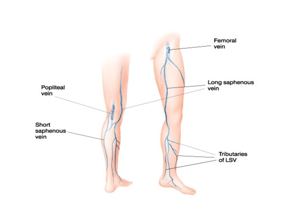 what is the longest vein in the body