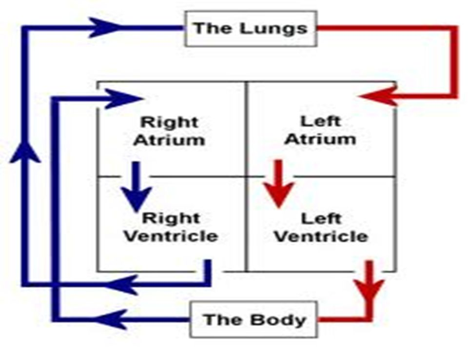 Members Of The Cardiovascular System Ppt Video Online Download