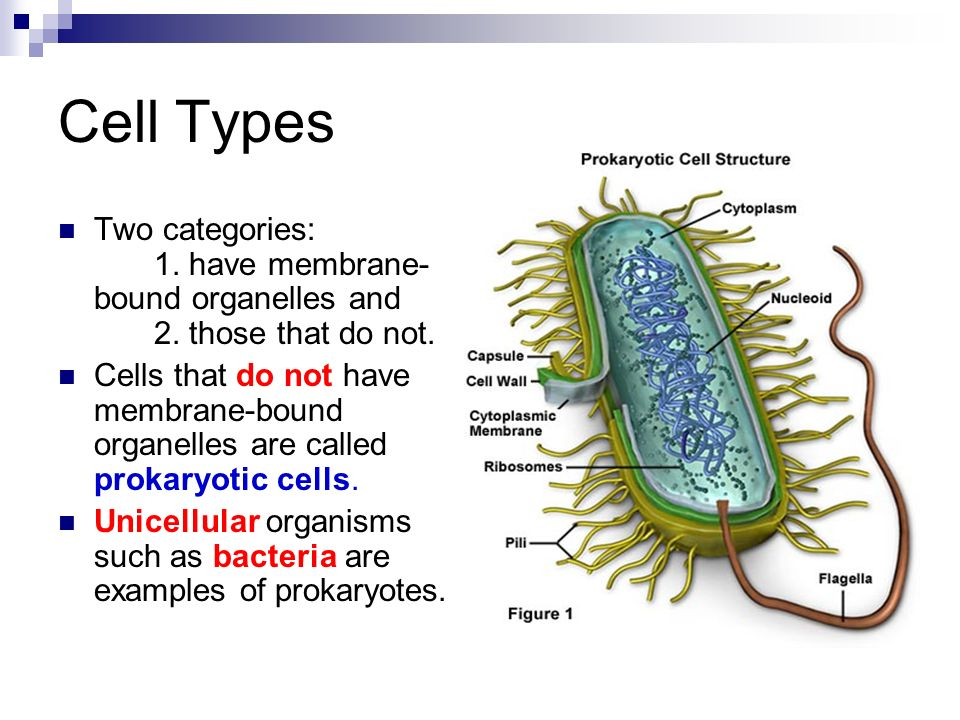 Eukaryotic Cells Vs Prokaryotic Cells Cell Theory Cells Are The