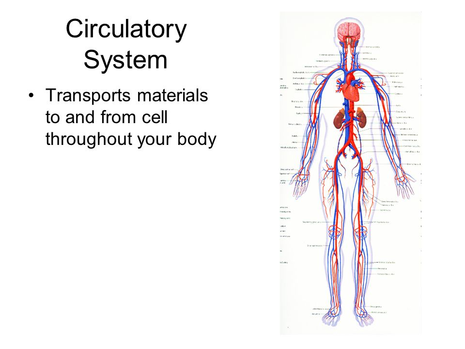Circulatory System Transports materials to and from cell throughout your body