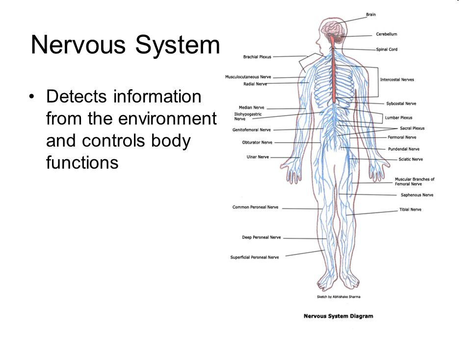Nervous System Detects information from the environment and controls body functions