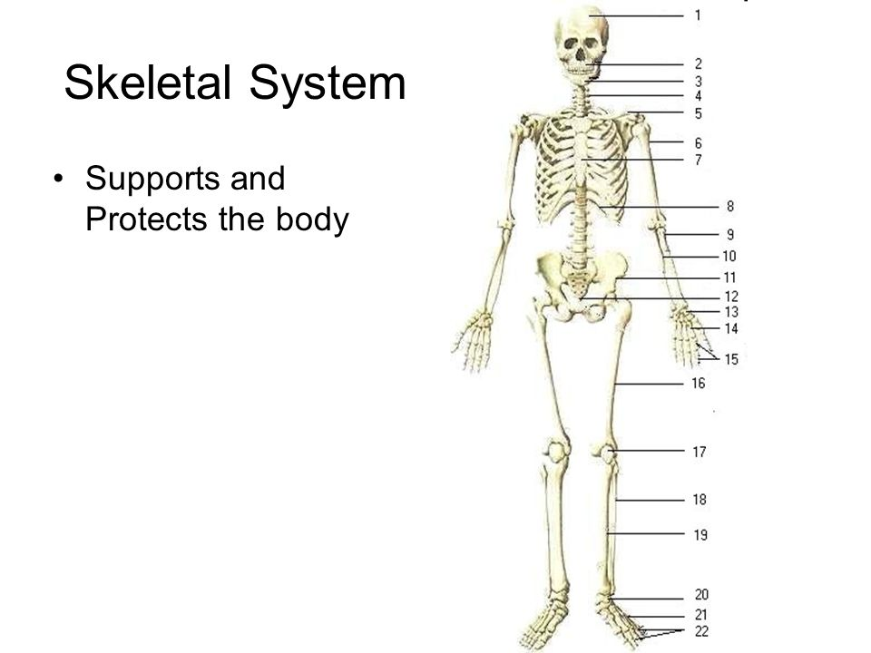 Skeletal System Supports and Protects the body