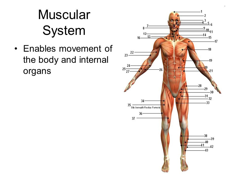 Muscular System Enables movement of the body and internal organs