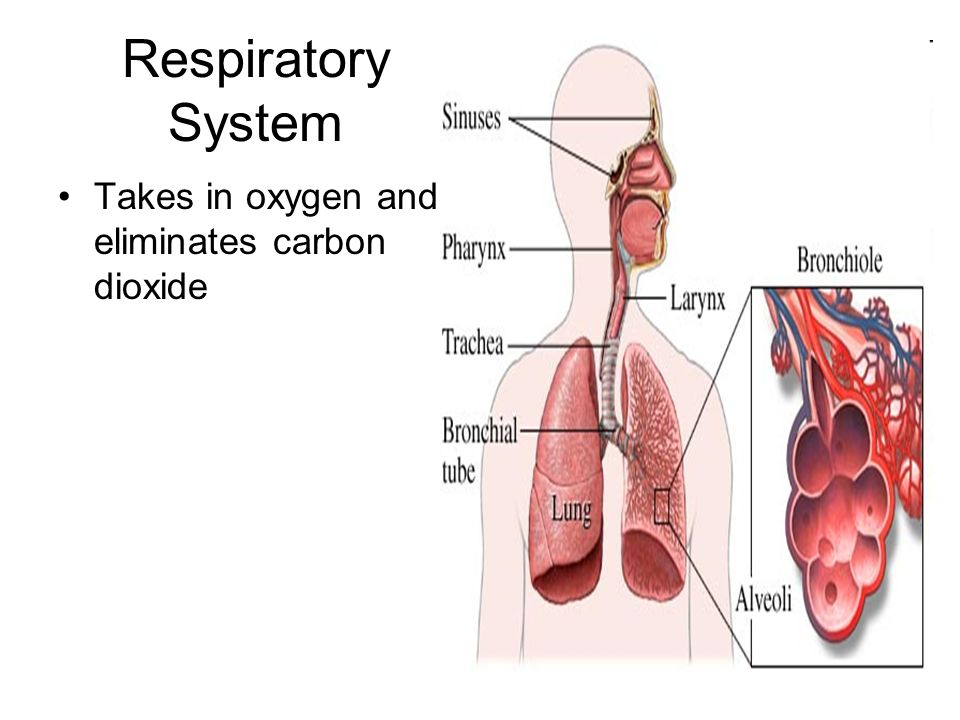 Respiratory System Takes in oxygen and eliminates carbon dioxide