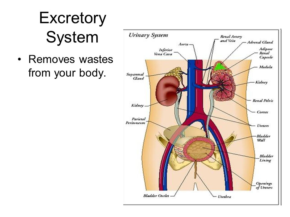 Excretory System Removes wastes from your body.
