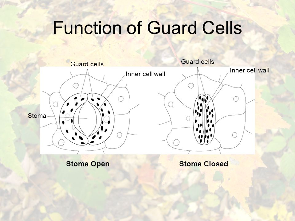 Function of Guard Cells Stoma OpenStoma Closed Guard cells Inner cell wall Stoma Guard cells Inner cell wall