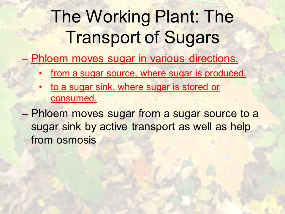 The Working Plant: The Transport of Sugars –Phloem moves sugar in various directions, from a sugar source, where sugar is produced, to a sugar sink, where sugar is stored or consumed.