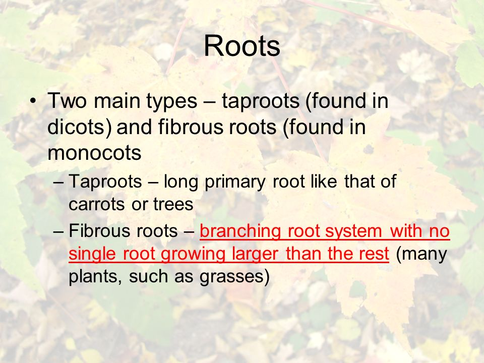Roots Two main types – taproots (found in dicots) and fibrous roots (found in monocots –Taproots – long primary root like that of carrots or trees –Fibrous roots – branching root system with no single root growing larger than the rest (many plants, such as grasses)