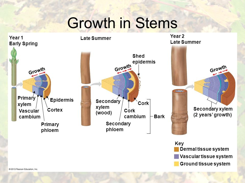 Growth in Stems Key Dermal tissue system Vascular tissue system Ground tissue system Year 1 Early Spring Growth Primary xylem Vascular cambium Cortex Epidermis Primary phloem Growth Late Summer Shed epidermis Secondary xylem (wood) Secondary phloem Cork cambium Cork Bark Year 2 Late Summer Secondary xylem (2 years' growth)