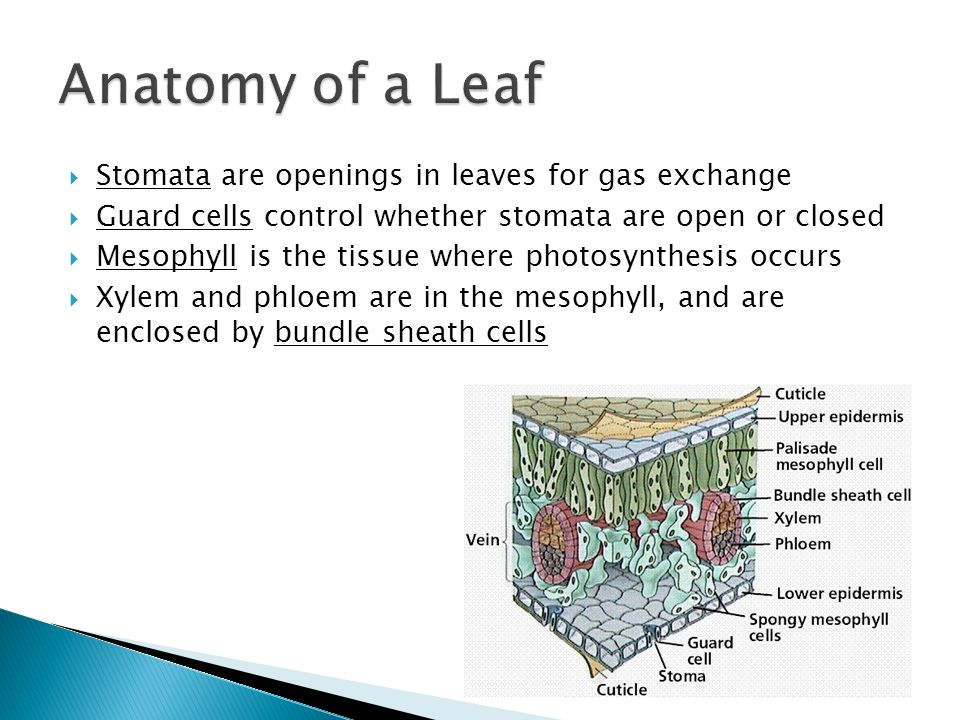  Stomata are openings in leaves for gas exchange  Guard cells control whether stomata are open or closed  Mesophyll is the tissue where photosynthesis occurs  Xylem and phloem are in the mesophyll, and are enclosed by bundle sheath cells
