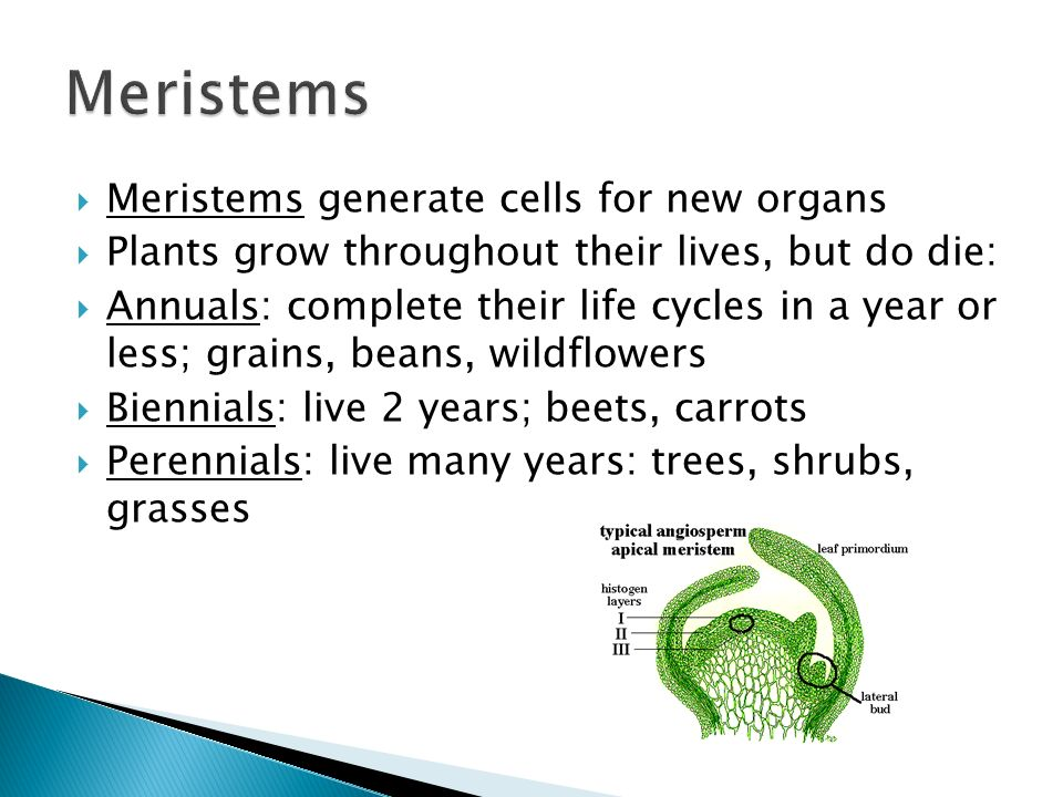  Meristems generate cells for new organs  Plants grow throughout their lives, but do die:  Annuals: complete their life cycles in a year or less; grains, beans, wildflowers  Biennials: live 2 years; beets, carrots  Perennials: live many years: trees, shrubs, grasses