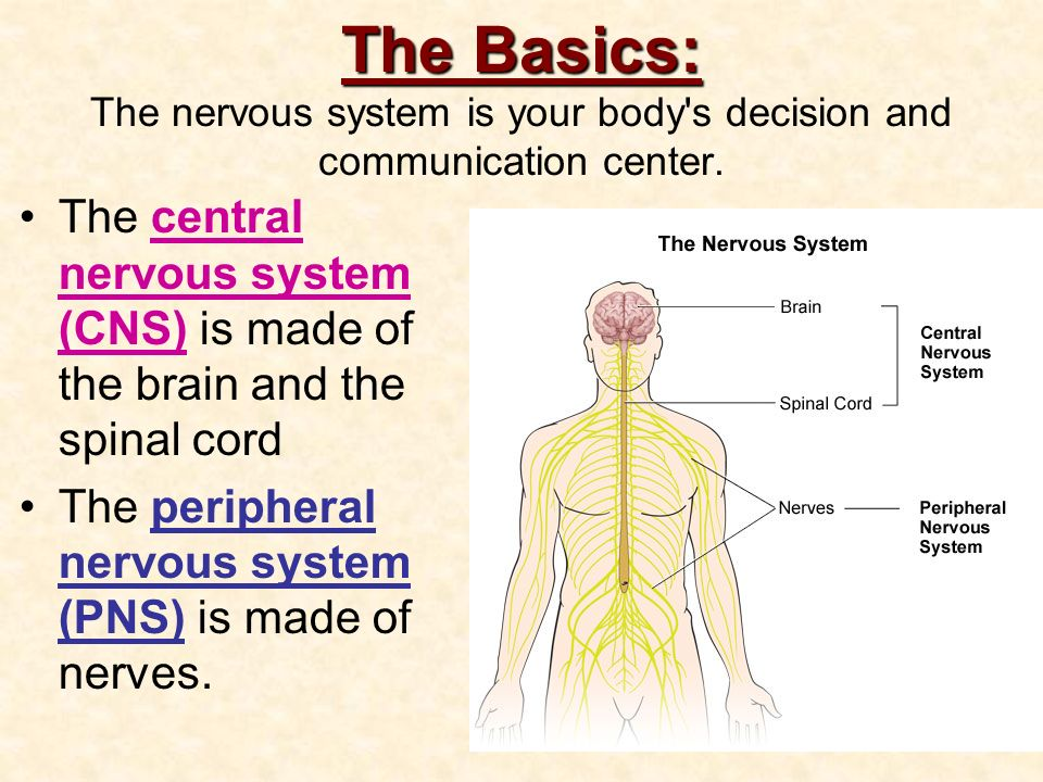 The Nervous System Anatomy & Physiology Ode To The Brain - ppt download