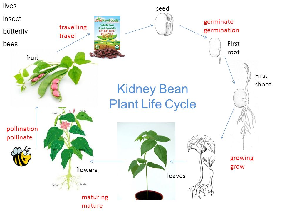 seed First root germinate germination First shoot growing grow flowers fruit maturing mature leaves pollination pollinate travelling travel Kidney Bean Plant Life Cycle lives insect butterfly bees