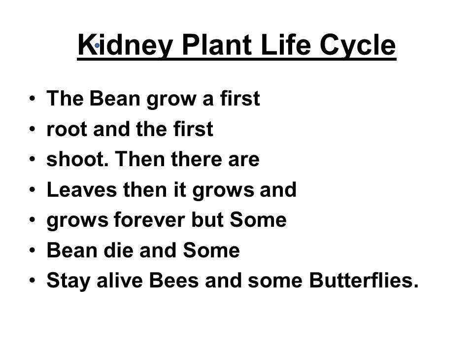 Kidney Plant Life Cycle The Bean grow a first root and the first shoot.
