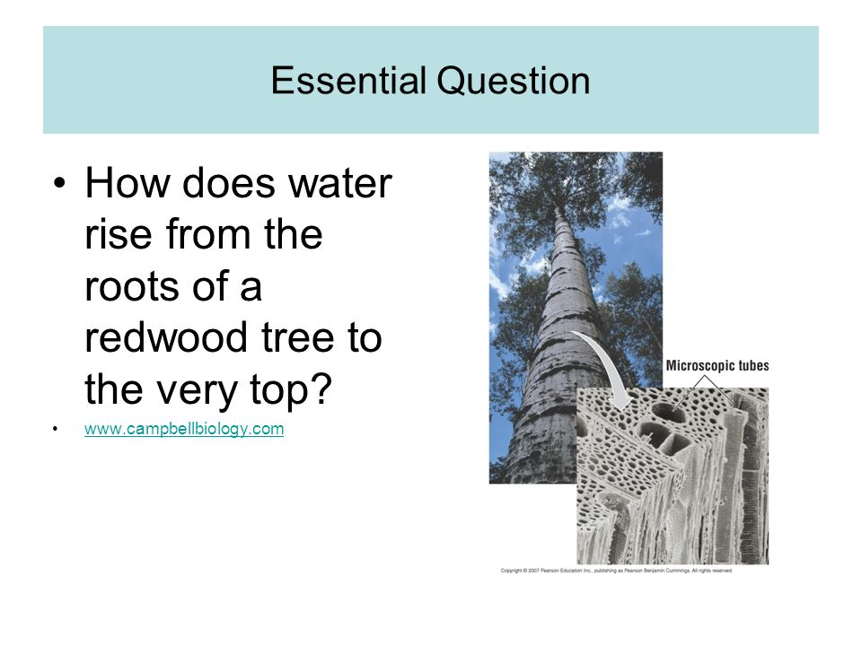 Essential Question How does water rise from the roots of a redwood tree to the very top.