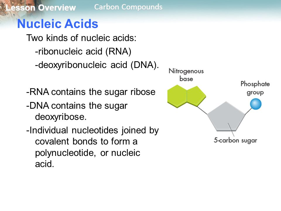 Lesson Overview Lesson Overview Carbon Compounds Nucleic Acids Two Kinds Of Nucleic Acids Ribonucleic