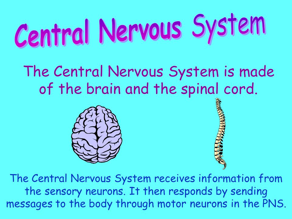 Made of neurons that are under your control. These neurons stimulate skeletal muscles.