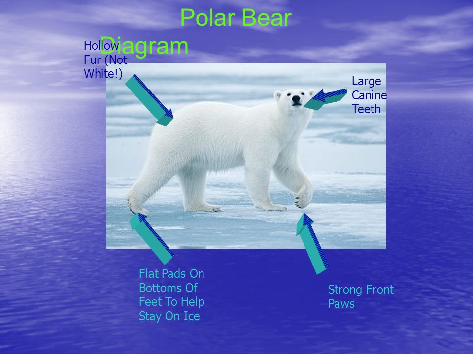 slide_2 polar bear diagram wiring diagrams hubs