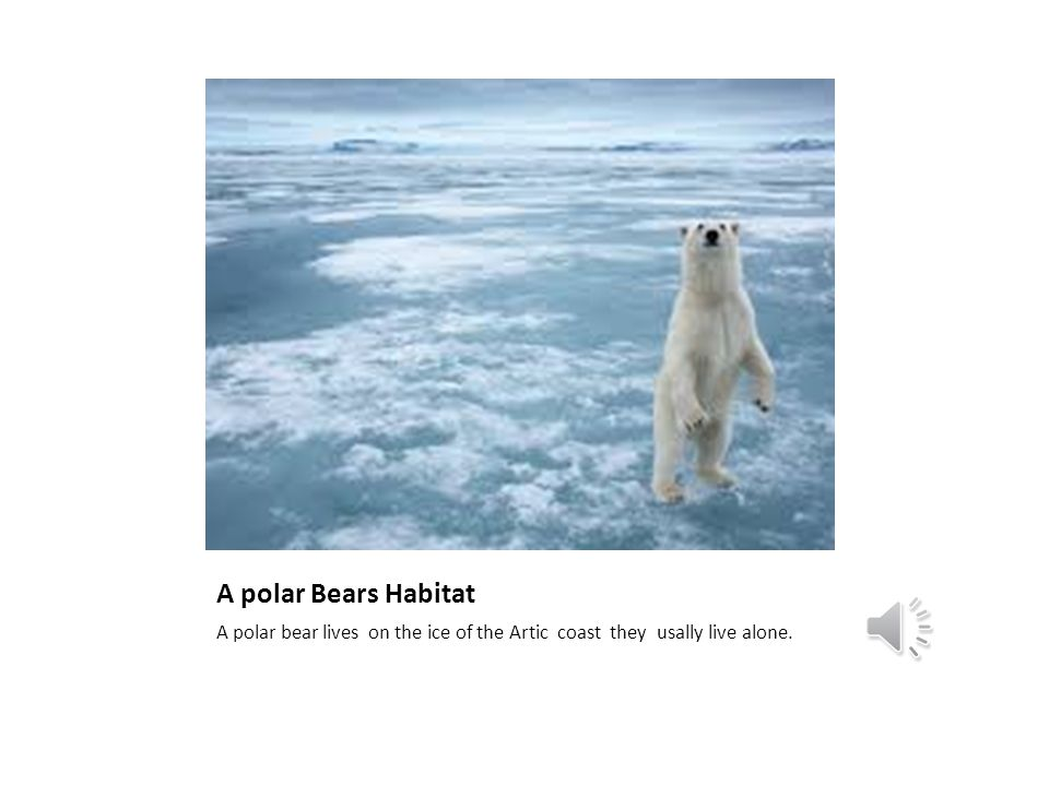 Awesome Polar Bears By: Ava Fisher Table of Contents The Anatomy of ...