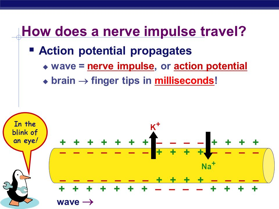 AP Biology How does a nerve impulse travel.