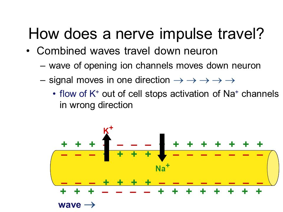 How does a nerve impulse travel.