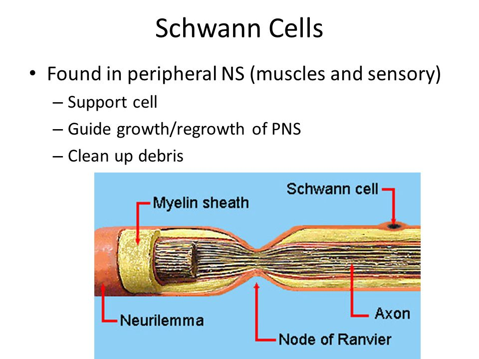 Myelin sheath signal direction  Axon coated with Schwann cells  insulates axon  speeds signal  Signal hops from node to node  Saltatory conduction myelin sheath