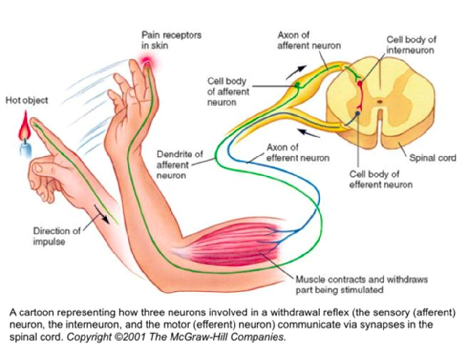 Neural Circuits Afferent Neurons – Neurons that carry information toward the central nervous system (spinal cord and brain) Efferent Neurons – Neurons that carry information away from central nervous system