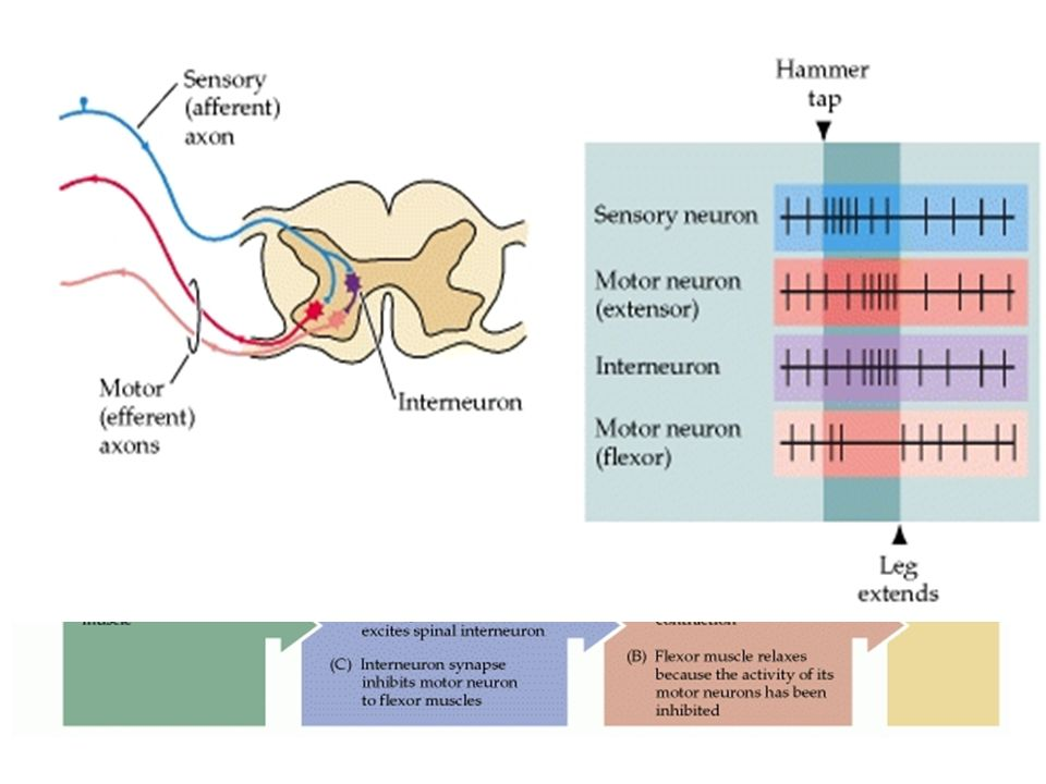 Different Neurons Sensory (Afferent) – Receptor, receive messages from external environment, send to brain for processing (hot, cold, taste, sight, pain) Interneuron – Only found in central NS, form connection between other neurons (link between sensory and motor) Motor (Efferent) – Send messages from brain to body parts