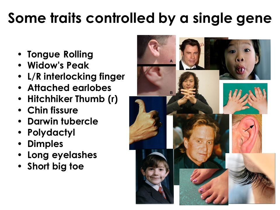 Some traits controlled by a single gene Tongue Rolling Widow s Peak L/R interlocking finger Attached earlobes Hitchhiker Thumb (r) Chin fissure Darwin tubercle Polydactyl Dimples Long eyelashes Short big toe