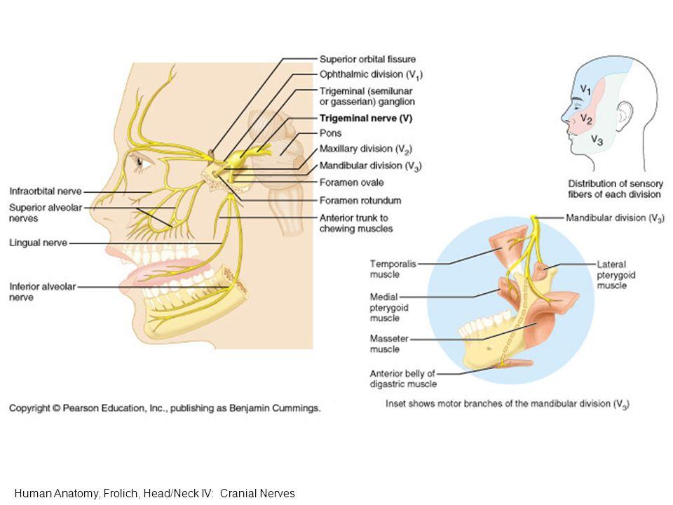 Cranial Nerves Human Anatomy Frolich Headneck Iv Cranial Nerves