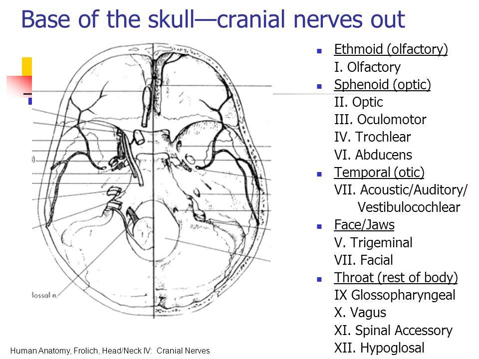 Cranial Nerves. Human Anatomy, Frolich, Head/Neck IV: Cranial Nerves ...