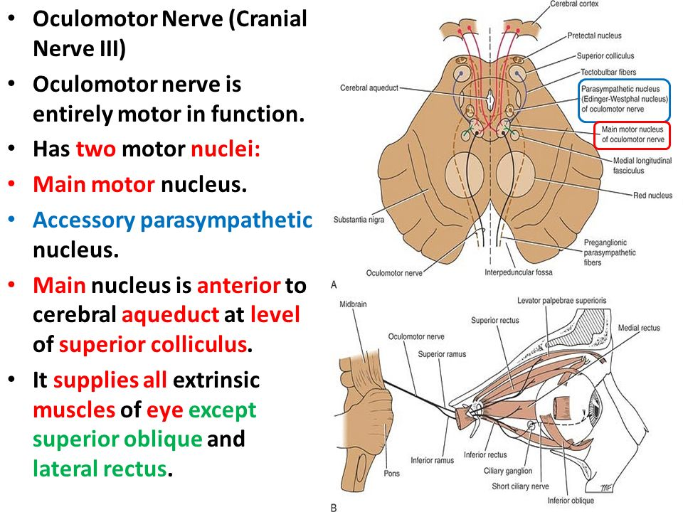 The Occulomotor, Trochlear & Abducent Cranial Nerves Dr. Nimir Dr ...