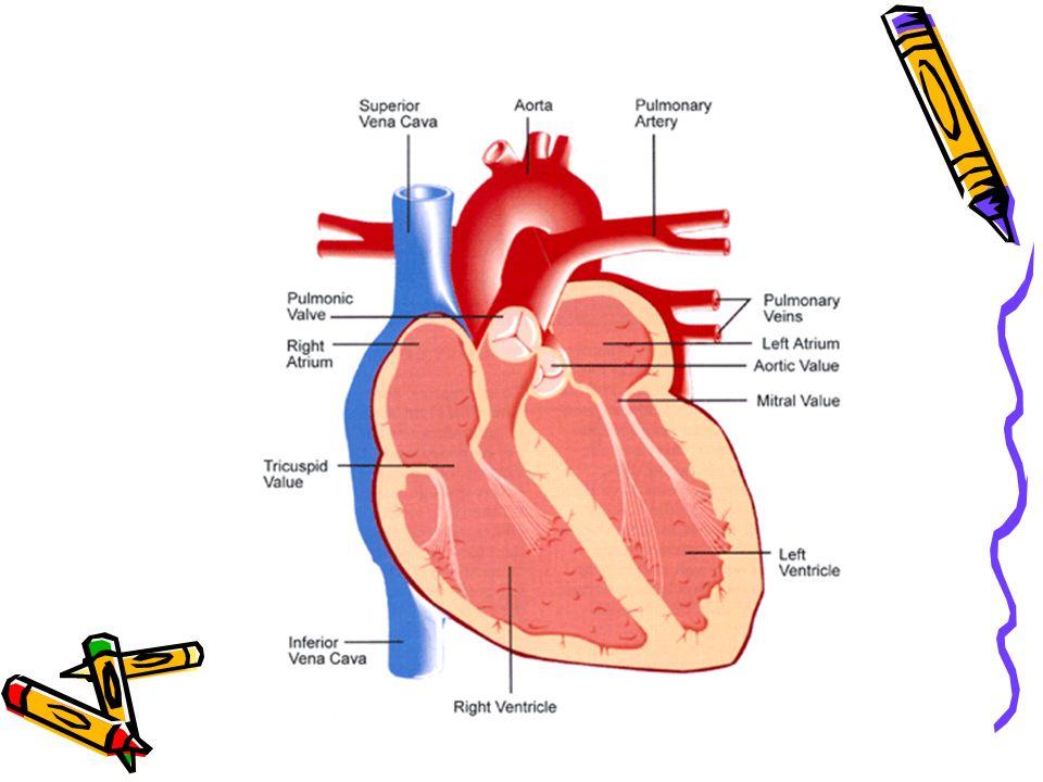 Human Heart & Circulatory System - ppt download