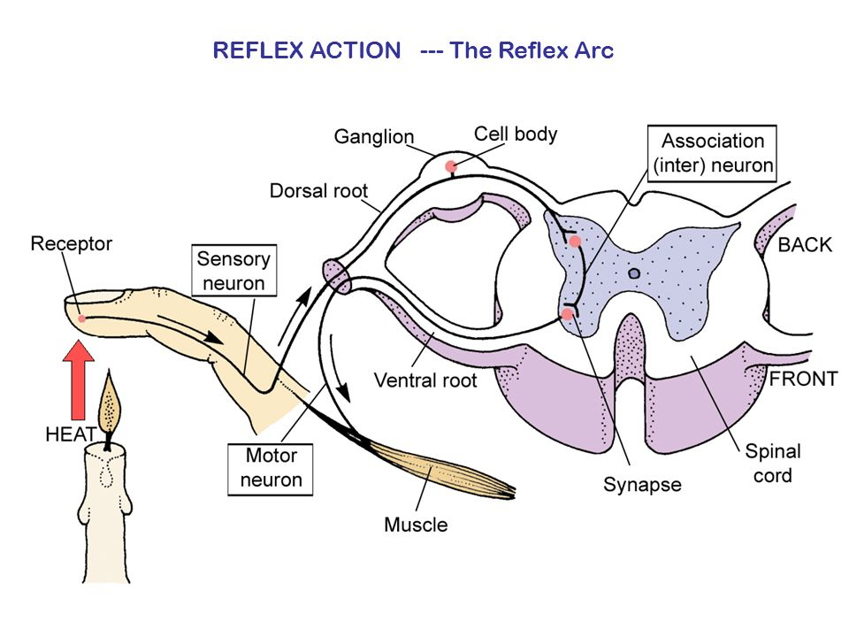 REFLEX ACTION --- The Reflex Arc