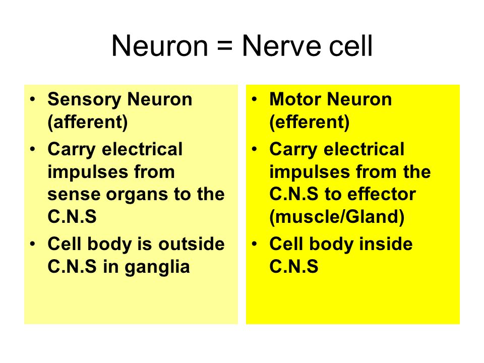 Neuron = Nerve cell Sensory Neuron (afferent) Carry electrical impulses from sense organs to the C.N.S Cell body is outside C.N.S in ganglia Motor Neuron (efferent) Carry electrical impulses from the C.N.S to effector (muscle/Gland) Cell body inside C.N.S