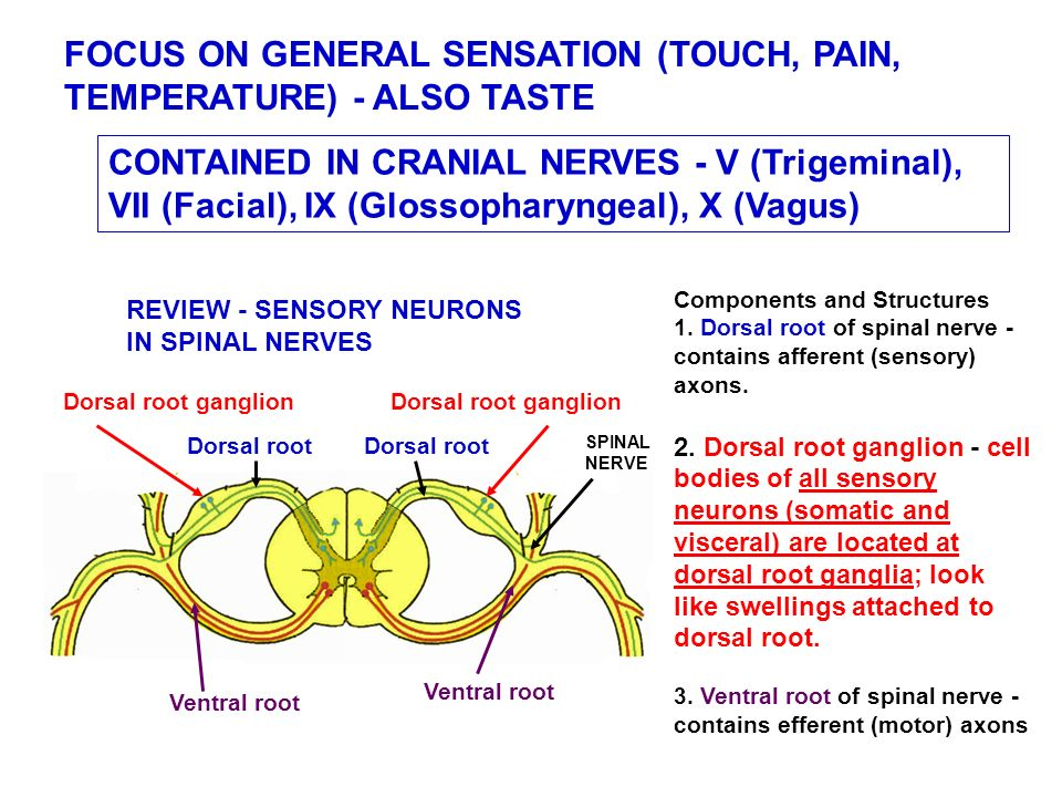 Focused Review Sensory Innervation Of The Head Touch Pain