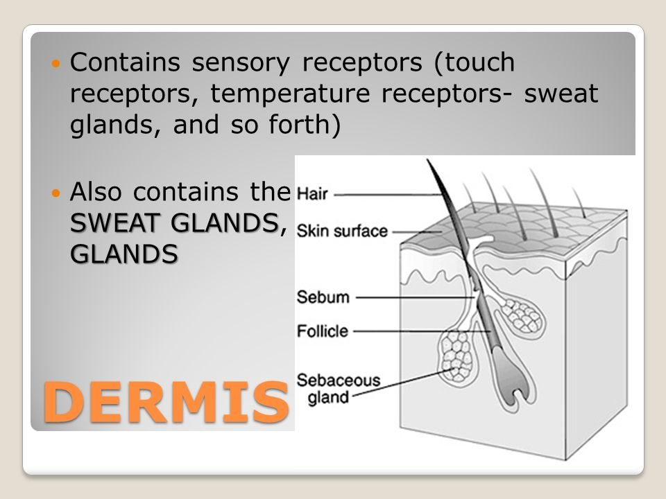 Contains sensory receptors (touch receptors, temperature receptors- sweat glands, and so forth) HAIR FOLLICLES SWEAT GLANDSSEBACACEOUS GLANDS Also contains the HAIR FOLLICLES, SWEAT GLANDS, and SEBACACEOUS GLANDS DERMIS