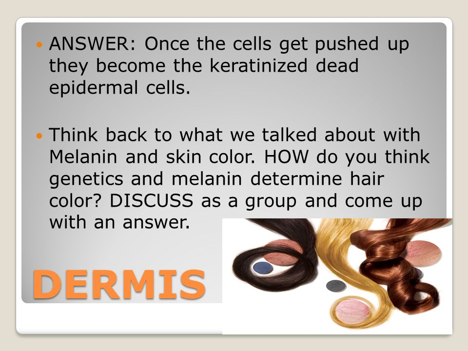 DERMIS ANSWER: Once the cells get pushed up they become the keratinized dead epidermal cells.