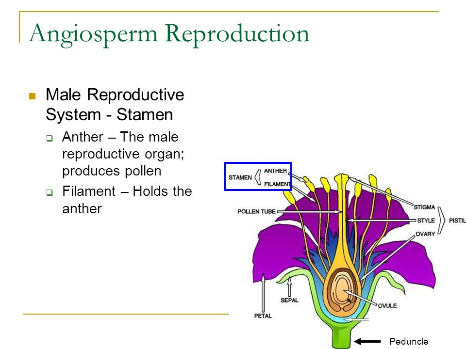 Angiosperm Reproduction Male Reproductive System - Stamen  Anther – The male reproductive organ; produces pollen  Filament – Holds the anther Peduncle