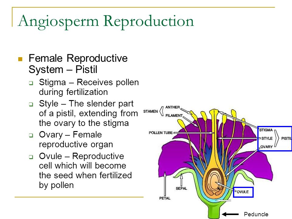 Angiosperm Reproduction Female Reproductive System – Pistil  Stigma – Receives pollen during fertilization  Style – The slender part of a pistil, extending from the ovary to the stigma  Ovary – Female reproductive organ  Ovule – Reproductive cell which will become the seed when fertilized by pollen Peduncle