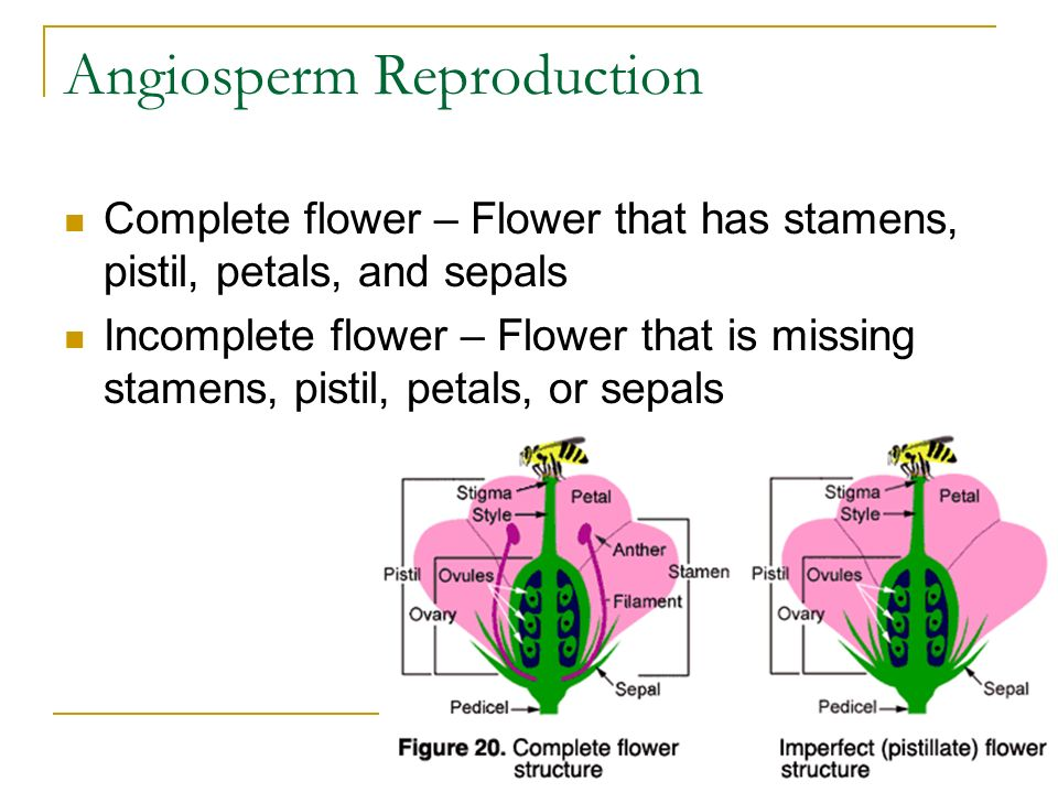 Angiosperm Reproduction Complete flower – Flower that has stamens, pistil, petals, and sepals Incomplete flower – Flower that is missing stamens, pistil, petals, or sepals