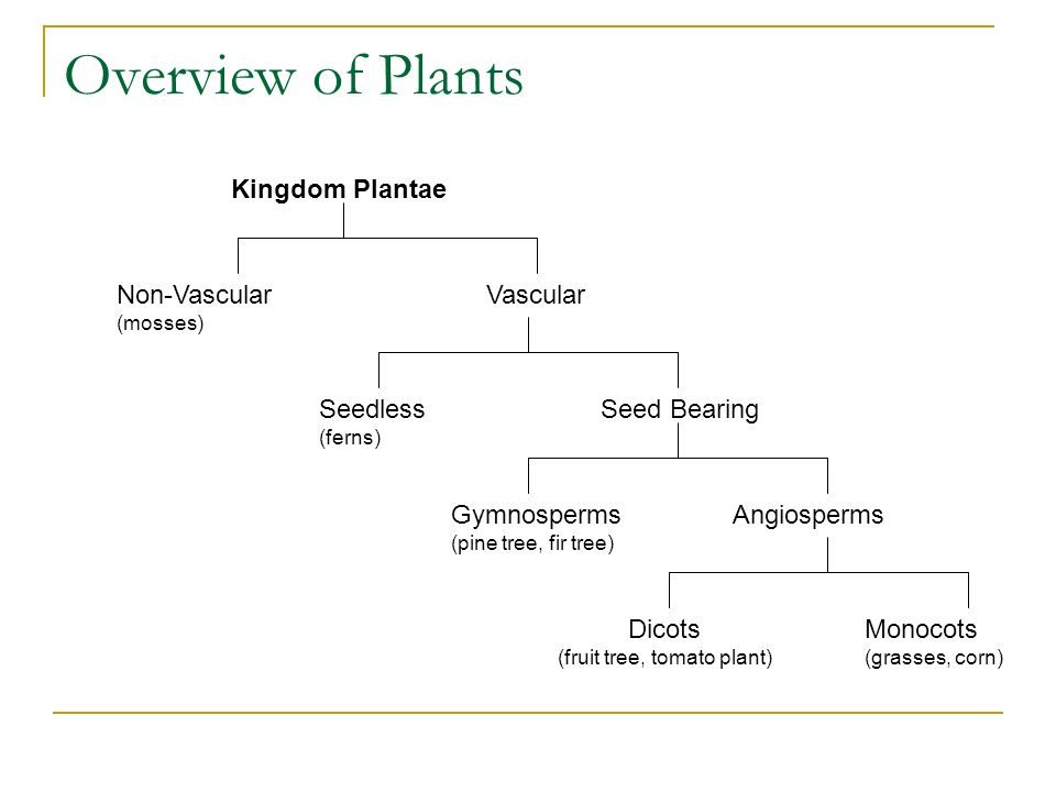 Overview of Plants Non-Vascular (mosses) Kingdom Plantae Vascular Seedless (ferns) Seed Bearing Gymnosperms (pine tree, fir tree) Angiosperms Dicots (fruit tree, tomato plant) Monocots (grasses, corn)