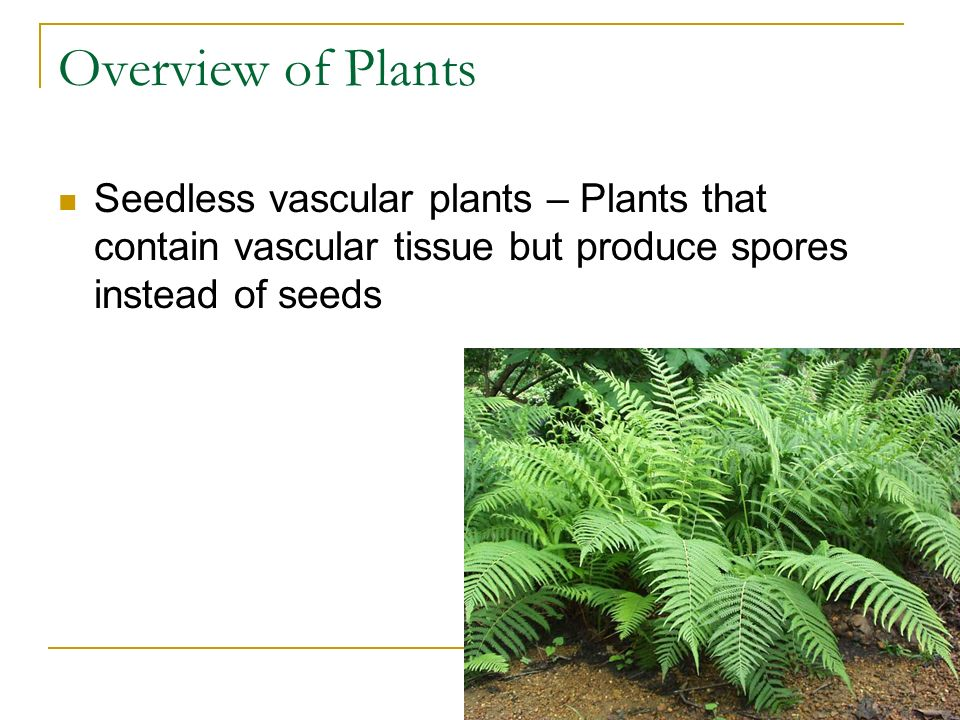 Overview of Plants Seedless vascular plants – Plants that contain vascular tissue but produce spores instead of seeds